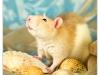 Rat_15