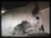calins_breizh-chinchilla_2_bianca-et-ses-b%c3%a9b%c3%a9s