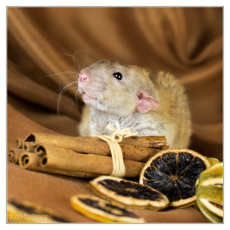 Rat_16
