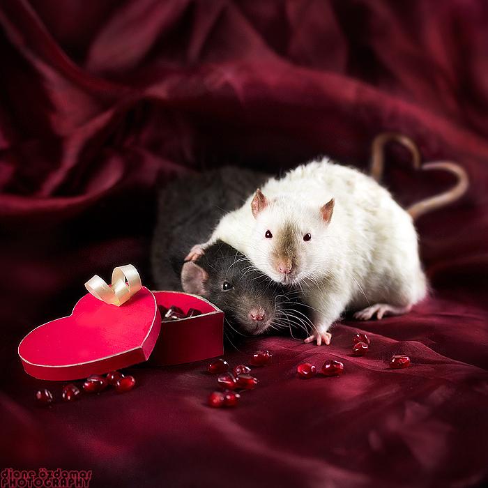 rat_3