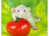 Rat_30