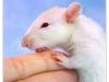 Rat_32