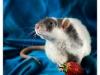 Rat_33