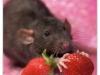 Rat_35